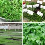 micro herbs, micro greens Ohio
