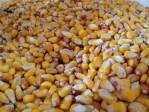 gmo free heirloom corn ohio